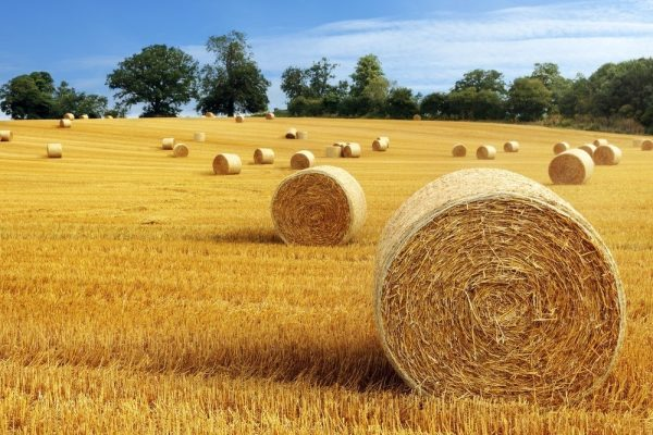 Golden Field Containing Hay Bales